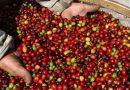 Café: Presidente da Cooxupé diz que colheita tem boas perspectivas, apesar da Pandemia